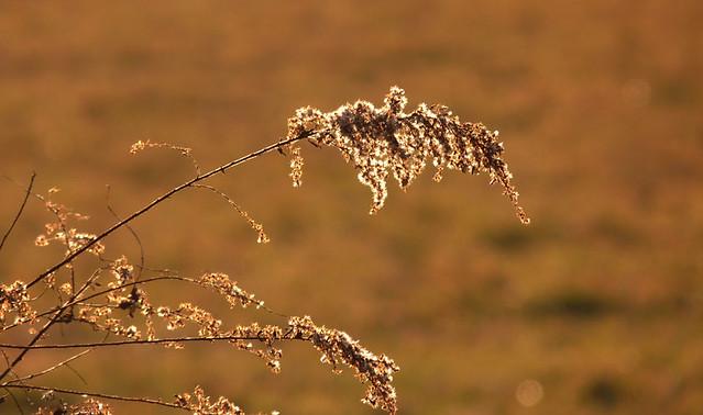 goldenweeds2