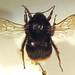 Bombus cullumanus (Cullum's Bumblebee)