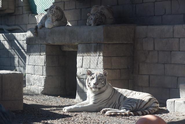 東武動物公園 ホワイトタイガー