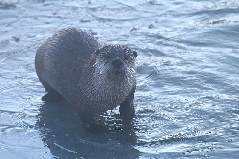 IMG_1431 River Otter