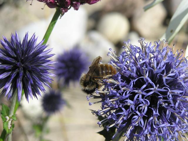 Bumblebee, Bombus sylvarum