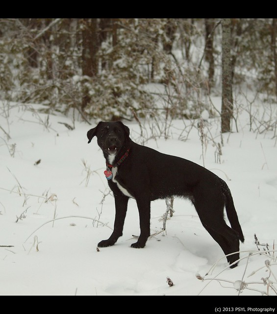 Black dog in white forest