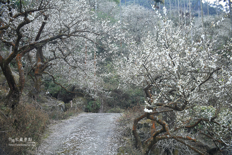 台南私藏景點--梅嶺梅花季  2013 (20)