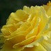 Small photo of Rosa Friesia -Alemania