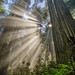 Redwoods Light by CraigGoodwin2