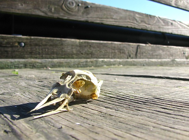 Bird skull on the dock