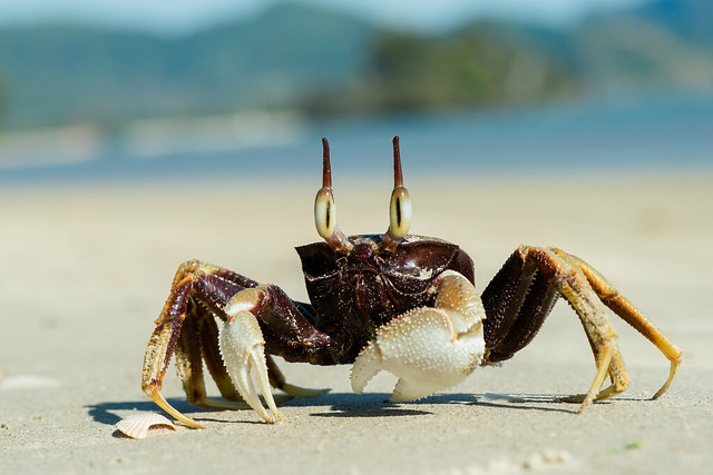 Ocypode ceratophthalma en una playa de Krabi. Tailandia.
