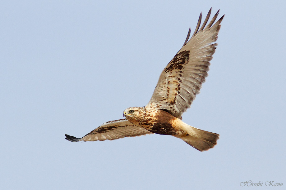 Rough-Legged Hawk 121713-03