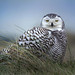 Snowy Owl - Photo (c) Frank Vassen, some rights reserved (CC BY)