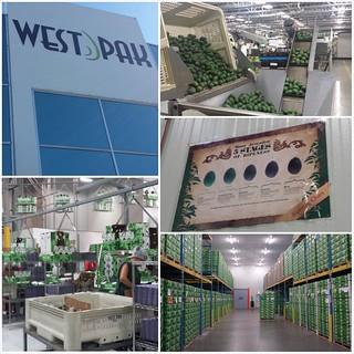 WestPak Avocado Plant