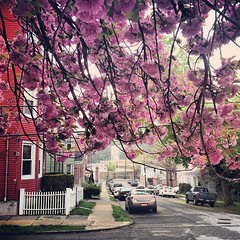 Under the arms of the #cherryblossoms in #yonkers