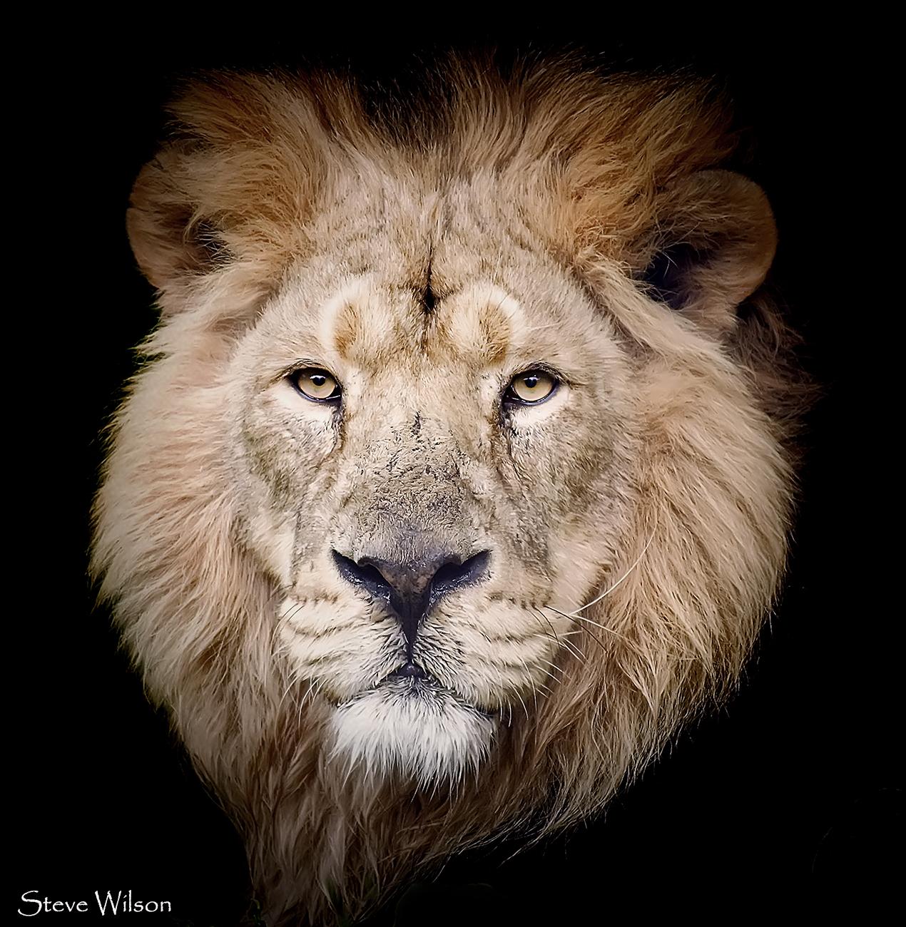 Лев черно белое фото