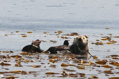 animal, marine mammal, sea, mustelidae, sea otter, shore, wildlife,