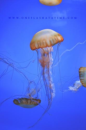 Shedd Aquarium: Jellies - Atlantic Sea Nettle