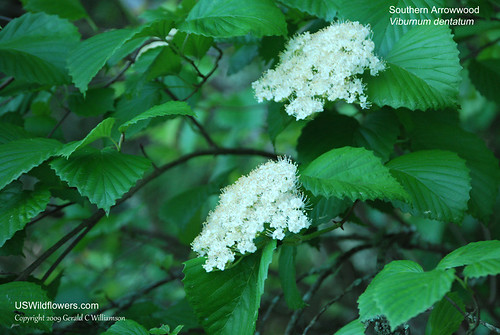 Southern Arrowwood, Arrowwood Viburnum - Viburnum dentatum