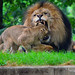 African lions, National Zoo by angela n.