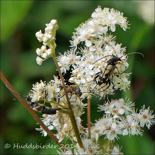 Rutpela maculata Longhorn Beetle-1030549
