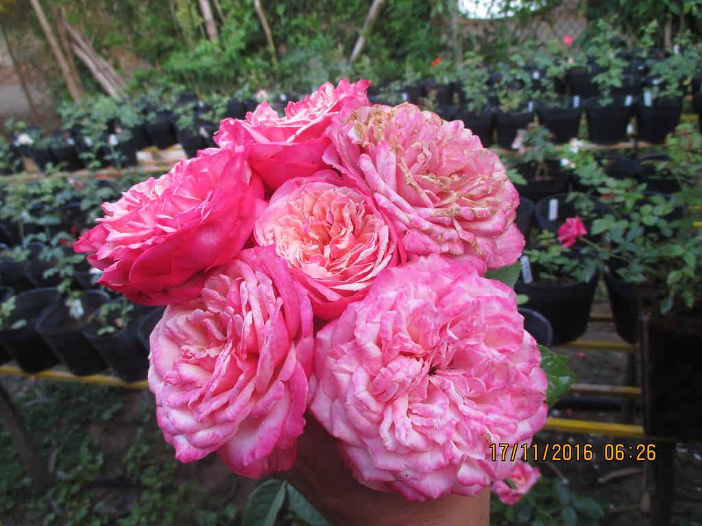Hoa hong ngoai Kordes Jubilee (3)