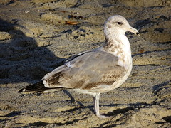 California Gull (3rd Cycle)