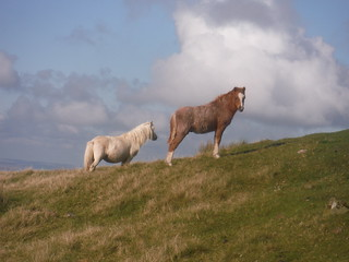 Wild Hill Ponies (on Cefn Disgwylfa) [off-route]