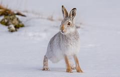 JWL5932 Mountain Hare..