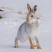 JWL5932 Mountain Hare.. by jefflack Wildlife&Nature