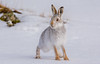 JWL5932 Mountain Hare..