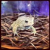 The endangered Houston Toad...