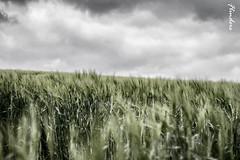 Wheat....