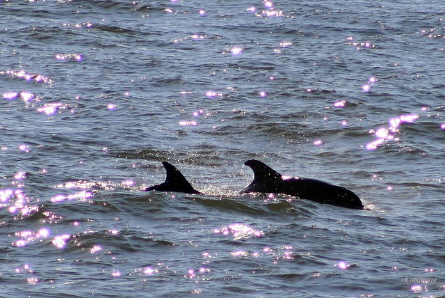 Dolphins seen from Bolivar Ferry, Galveston, Tx