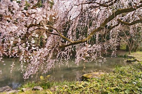 【写真】2013 桜 : 京都御苑/2020-10-30/IMGP8685