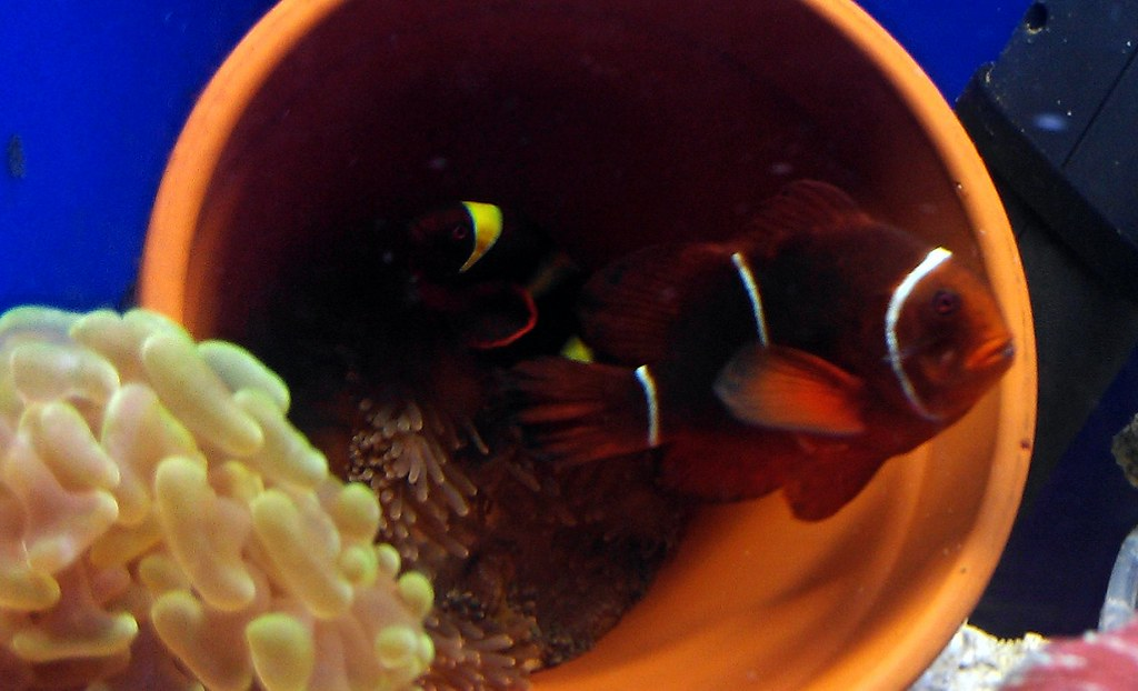 Maroon and Gold Stripe Maroon clownfish spawning breeder p