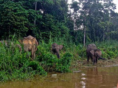 We stumbled upon a herd of elephants at the Kinabatangan River in Borneo