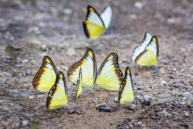 Yellow Group 黃蝶東風滿四鄰