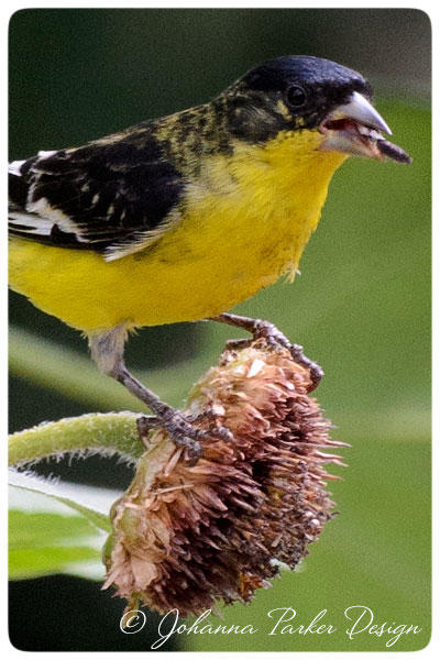 Lesser-Goldfinch-poser