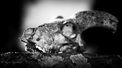Skull01