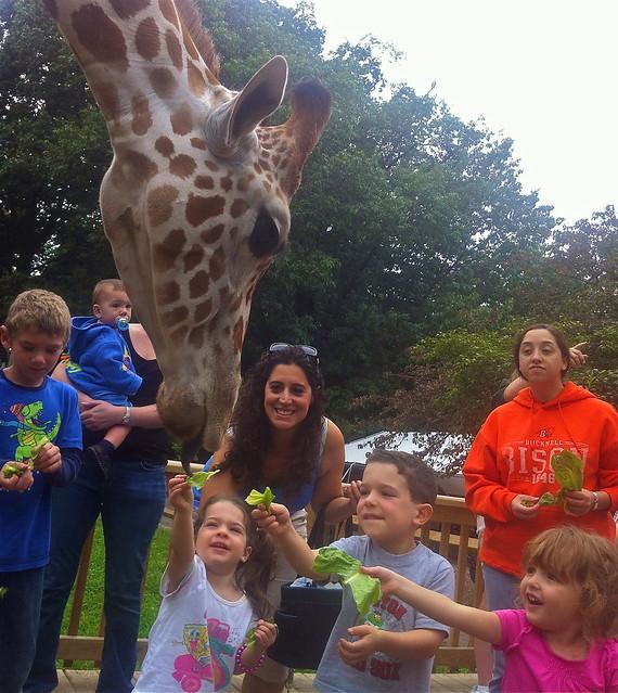 cu feeding giraffes