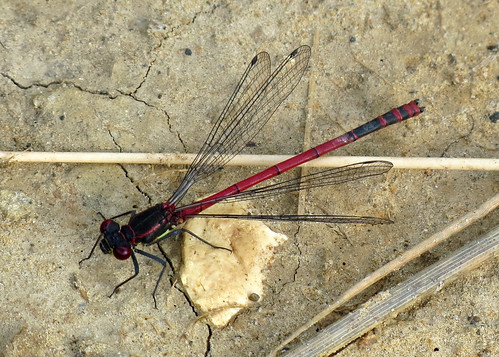 Large Red Damselfly - Pyrrhosoma nymphulaym