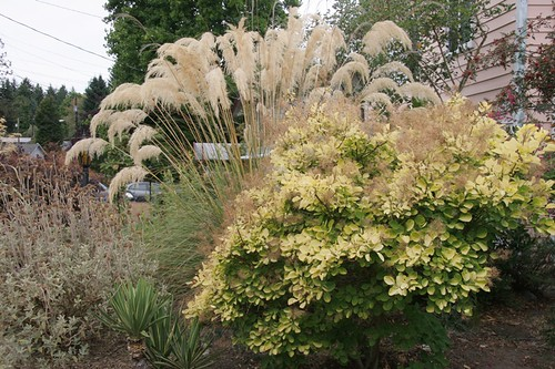 Cotinus golden spirit and Cortaderia richardii