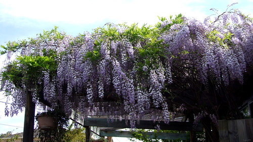 Wisteria from the sky
