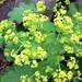 Small photo of Lady's mantle (Alchemilla vulgaris)