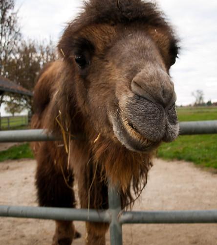kamel-2