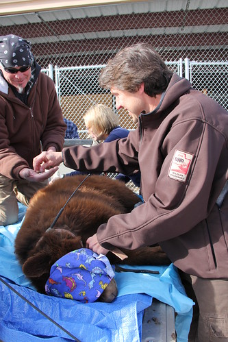 Utah Division of Wildlife Resources' mammals program coordinator John Shivik places a radio-collar on a black bear cub in preparation for its release. The Division will monitor the cub and its sibling who were recently housed at the NWRC Utah field station to ensure they adjust back to life in the wild.  Photo by USDA Wildlife Services