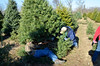 Cutting down the tree...trying a new variety this year....Concolor Fir