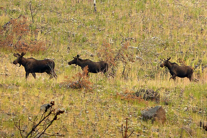 Moose on the Chilko Newton Road, Chilcotin