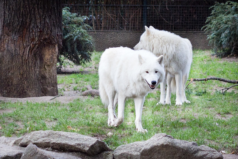Wednesday, October 30: Another animal first for me, wolves! Specifically, a pack of arctic wolves. The Berlin Zoo was incredible.