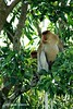Bekantan - Wild Indonesia 67