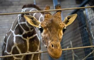 被安樂死的長頸鹿,圖片截自法新社。