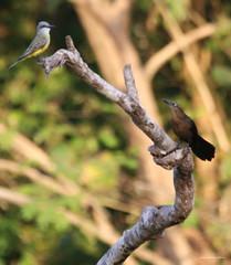 IMG_9237   Le tropical kingbird et le Quiscale à longue queue (femelle) une nouvelle fable de la Fontaine ??!!