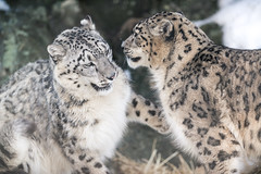 Snow Leopards Playing